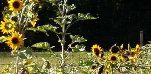 Field of Sunflowers courtesy of Susannah Carey